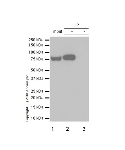 Immunoprecipitation - Anti-GFPT1 antibody [EPR4854] - BSA and Azide free (ab236053)
