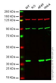 Western blot - Anti-Syntenin antibody [EPR8102] - BSA and Azide free (ab236071)