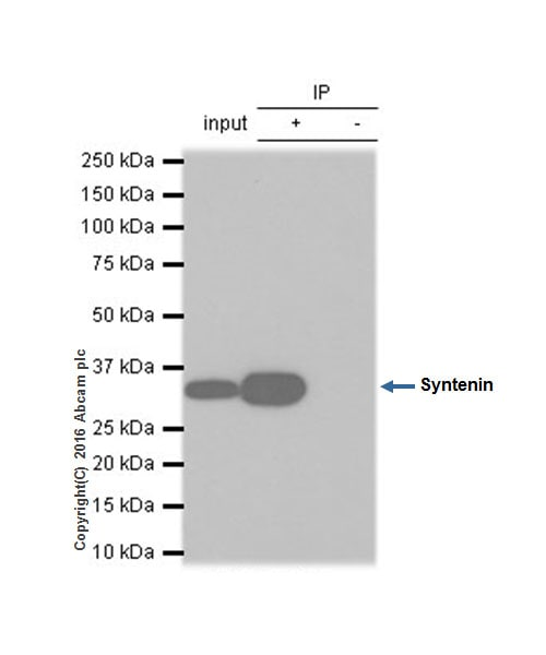 Immunoprecipitation - Anti-Syntenin antibody [EPR8102] - BSA and Azide free (ab236071)