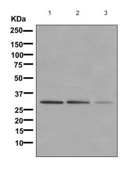 Western blot - Anti-NgBR antibody [EPR8668] - BSA and Azide free (ab236072)