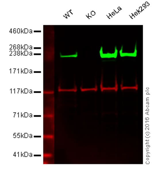 Western blot - Anti-non-muscle Myosin IIA antibody [EPR8965] - BSA and Azide free (ab236073)