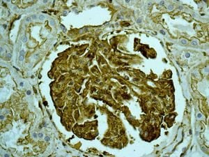 Immunohistochemistry (Formalin/PFA-fixed paraffin-embedded sections) - Anti-non-muscle Myosin IIA antibody [EPR8965] - BSA and Azide free (ab236073)