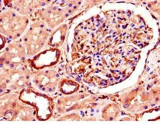 Immunohistochemistry (Formalin/PFA-fixed paraffin-embedded sections) - Anti-SMURF1 antibody (ab236081)