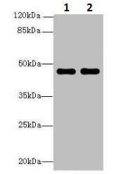 Western blot - Anti-ZNF821 antibody (ab236084)
