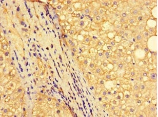 Immunohistochemistry (Formalin/PFA-fixed paraffin-embedded sections) - Anti-NR1D1 antibody (ab236086)