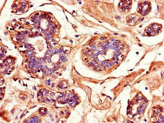 Immunohistochemistry (Formalin/PFA-fixed paraffin-embedded sections) - Anti-JNK3 antibody (ab236096)