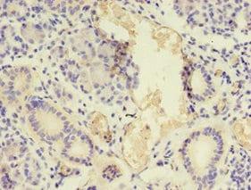 Immunohistochemistry (Formalin/PFA-fixed paraffin-embedded sections) - Anti-BNP antibody (ab236101)