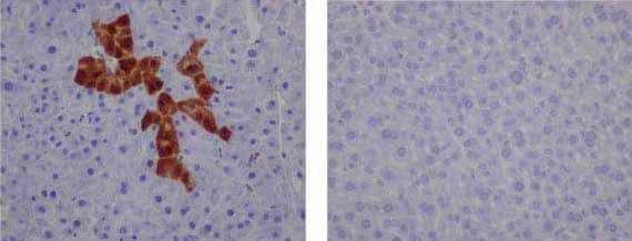 Immunohistochemistry (Formalin/PFA-fixed paraffin-embedded sections) - Anti-GFP antibody [EPR14104-89] - BSA and Azide free (ab236117)