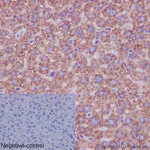 Immunohistochemistry (Formalin/PFA-fixed paraffin-embedded sections) - Anti-RPLP0 antibody [EP15646] - BSA and Azide free (ab236120)