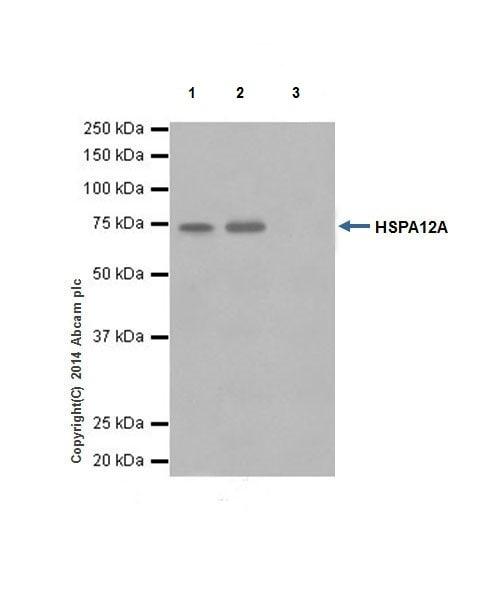Immunoprecipitation - Anti-HSPA12A antibody [EPR16763] - BSA and Azide free (ab236146)