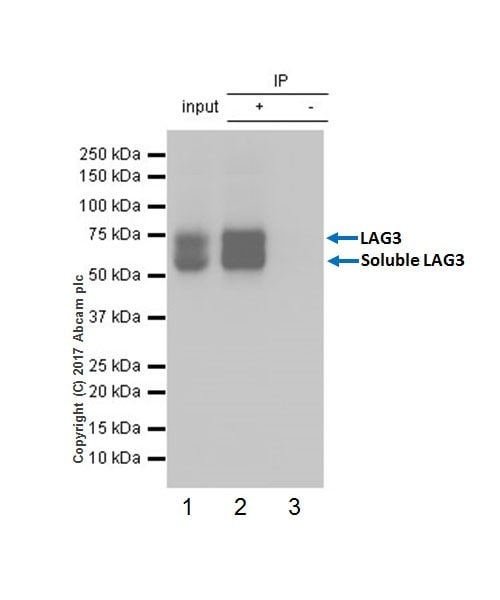 Immunoprecipitation - Anti-LAG-3 antibody [EPR20294-77] - BSA and Azide free (ab236154)