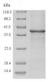 SDS-PAGE - Recombinant Human TRP14 protein (Tagged) (ab236190)