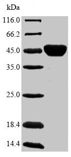 SDS-PAGE - Recombinant Diacylglycerol acyltransferase/mycolyltransferase Ag85B protein (Tagged) (ab236191)
