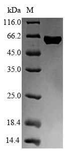 SDS-PAGE - Recombinant Human Flagellin protein (Tagged) (ab236196)
