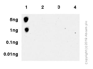 Dot Blot - Anti-RPS6 (phospho S235 + S236) antibody [SP50] - BSA and Azide free (ab236224)