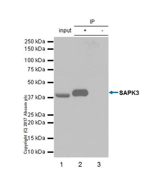 Immunoprecipitation - Anti-MAPK 12 antibody [EPR17637-104] - BSA and Azide free (ab236242)