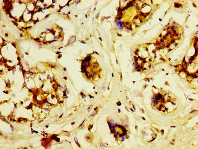 Immunohistochemistry (Formalin/PFA-fixed paraffin-embedded sections) - Anti-Lrp2 / Megalin antibody (ab236244)
