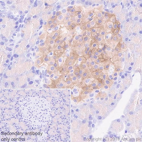Immunohistochemistry (Formalin/PFA-fixed paraffin-embedded sections) - Anti-GLP1R antibody [EPR21819] - BSA and Azide free (ab236269)