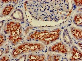 Immunohistochemistry (Formalin/PFA-fixed paraffin-embedded sections) - Anti-CD13 antibody (ab236283)