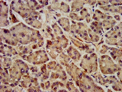 Immunohistochemistry (Formalin/PFA-fixed paraffin-embedded sections) - Anti-GPCR GPR40 antibody (ab236285)