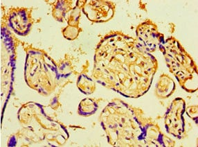 Immunohistochemistry (Formalin/PFA-fixed paraffin-embedded sections) - Anti-Chd1 antibody (ab236287)