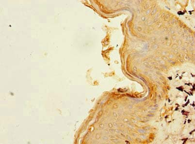 Immunohistochemistry (Formalin/PFA-fixed paraffin-embedded sections) - Anti-B3GNT1 antibody (ab236291)