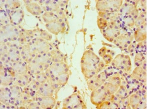 Immunohistochemistry (Formalin/PFA-fixed paraffin-embedded sections) - Anti-Thioredoxin 2 antibody (ab236298)