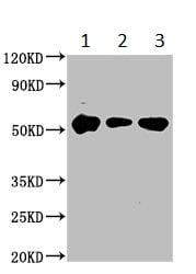 Western blot - Anti-STK3/MST-2 antibody (ab236300)