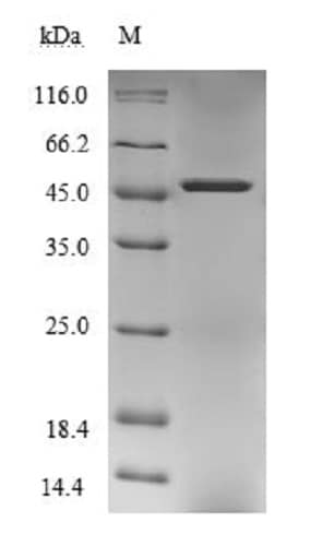 SDS-PAGE - Recombinant Human PNMA1 protein (Tagged) (ab236342)