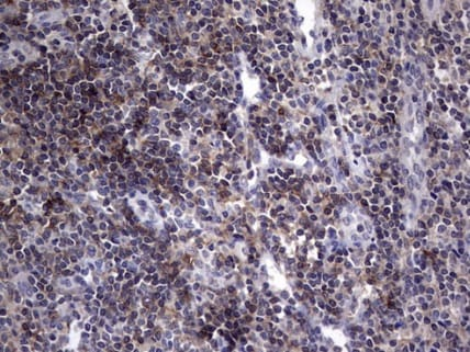 Immunohistochemistry (Formalin/PFA-fixed paraffin-embedded sections) - Anti-AKAP7 antibody [OTI6F7] (ab236372)