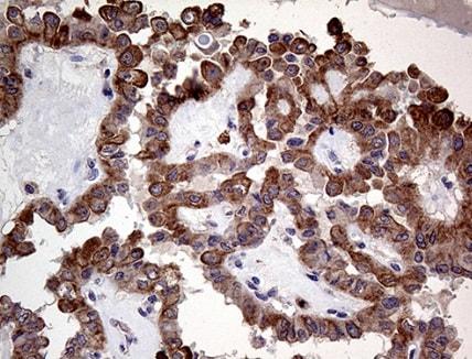 Immunohistochemistry (Formalin/PFA-fixed paraffin-embedded sections) - Anti-p114RhoGEF antibody [OTI6D10] (ab236374)