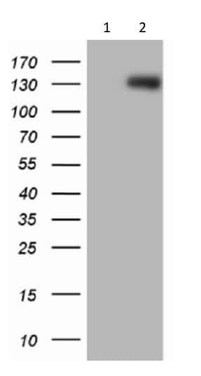Western blot - Anti-p114RhoGEF antibody [OTI6D10] (ab236374)