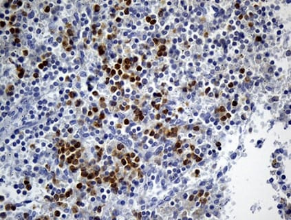 Immunohistochemistry (Formalin/PFA-fixed paraffin-embedded sections) - Anti-FOLR3 antibody [OTI6C1] (ab236384)