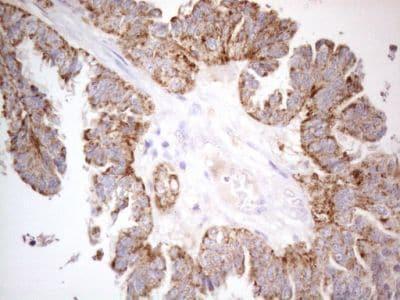 Immunohistochemistry (Formalin/PFA-fixed paraffin-embedded sections) - Anti-PISD antibody [OTI4G5] (ab236405)