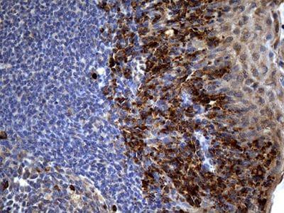 Immunohistochemistry (Formalin/PFA-fixed paraffin-embedded sections) - Anti-PP4R4 antibody [OTI1G7] (ab236406)