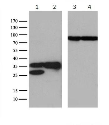 Western blot - Anti-SFRS9/SRSF9 antibody [OTI5G7] (ab236414)