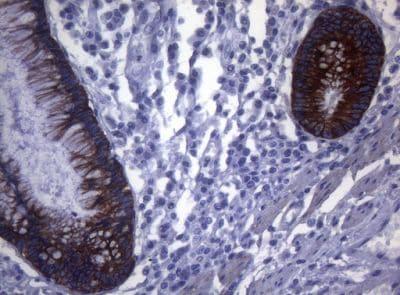 Immunohistochemistry (Formalin/PFA-fixed paraffin-embedded sections) - Anti-SYNC antibody [OTI5B8] (ab236418)