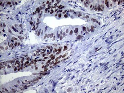 Immunohistochemistry (Formalin/PFA-fixed paraffin-embedded sections) - Anti-TSEN34 antibody [OTI6B3] (ab236423)