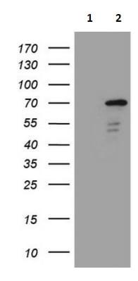 Western blot - Anti-ZNF449 antibody [OTI4C6] (ab236427)