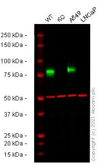 Western blot - Anti-CD44 antibody [SP37] - BSA and Azide free (ab236436)