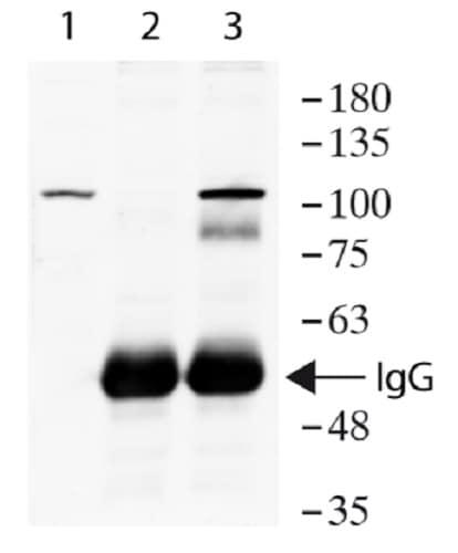 Immunoprecipitation - Anti-MCM6 antibody - C-terminal (ab236449)