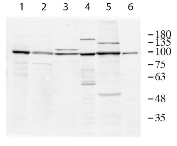 Western blot - Anti-MCM6 antibody - C-terminal (ab236449)