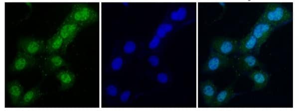 Immunocytochemistry/ Immunofluorescence - Anti-DNA polymerase eta antibody (ab236450)