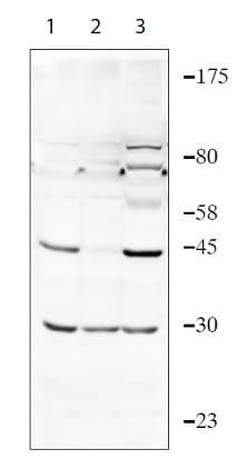 Western blot - Anti-TIPIN antibody - N-terminal (ab236451)