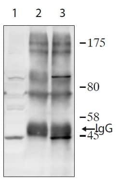 Immunoprecipitation - Anti-TIPIN antibody - N-terminal (ab236451)