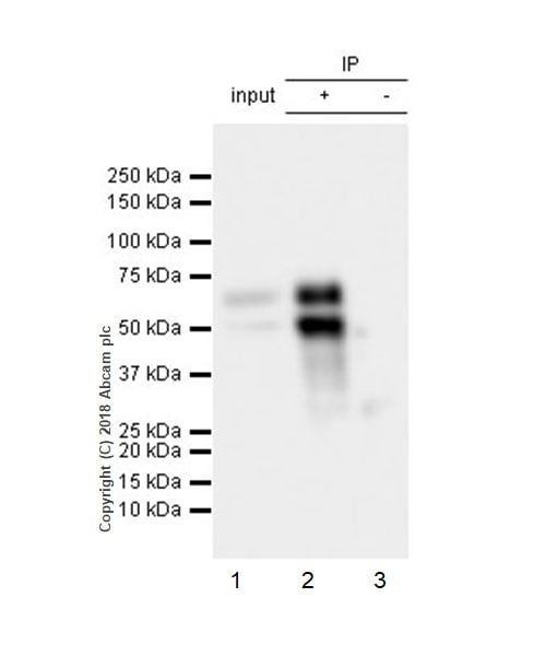 Immunoprecipitation - Anti-n-Myc/MYCN antibody [EPR18982-8R-3] - BSA and Azide free (ab236459)