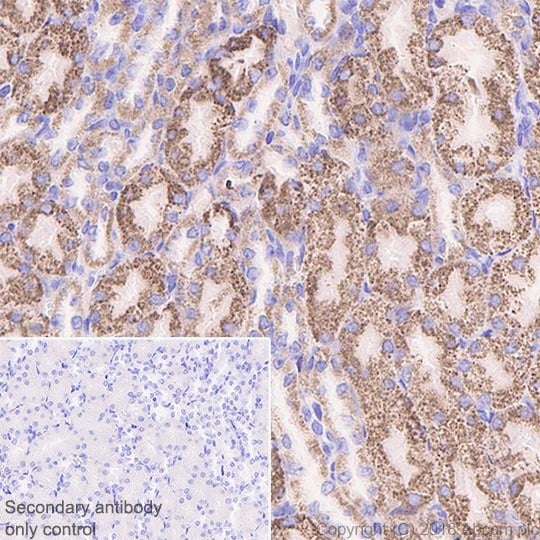 Immunohistochemistry (Formalin/PFA-fixed paraffin-embedded sections) - Anti-Frataxin antibody [EPR21840] - BSA and Azide free (ab236463)