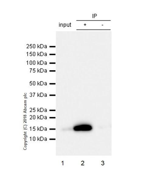 Immunoprecipitation - Anti-Frataxin antibody [EPR21840] - BSA and Azide free (ab236463)