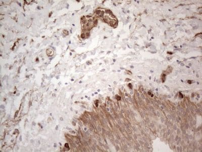 Immunohistochemistry (Formalin/PFA-fixed paraffin-embedded sections) - Anti-EPCR/CD201 antibody [OTI12H5] (ab236517)