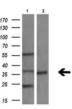 Western blot - Anti-Tal1 antibody [OTI6A2] (ab236520)